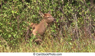 Elk Calf - a cute elk calf emerging from cover
