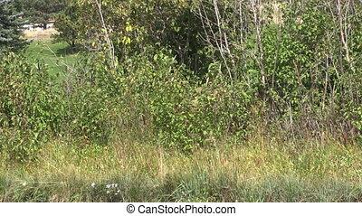 Bull Elk Raking Antlers - a bull elk in rut raking his...