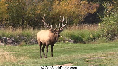 Rutting Bull Elk - a rutting bull elk in a meadow