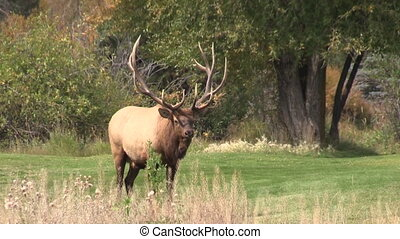 Rutting Bull Elk - a big bull elk in the fall rut