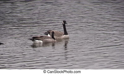 Canada Geese Swimming - a pair of canada geese swimming on a...