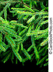 Fir branches - Green prickly fir tree branches background