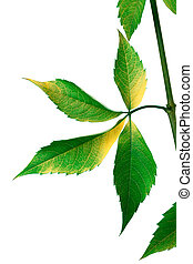Grapes leaves Parthenocissus quinquefolia foliage Isolated...