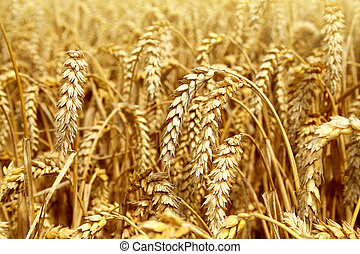 Wheat, gold wheat