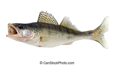 fish - Fish Walleye or Zander isolated over white