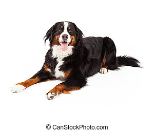 Bernese Mountain Dog Laying - A Bernese Mountain Dog laying...