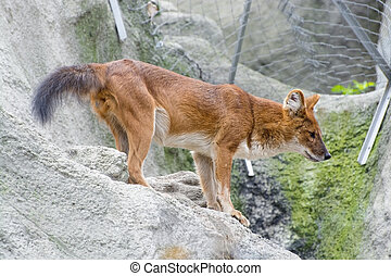 Dhole (Cuon alpinus) - Dhole or Asiatic wild dog (Cuon...