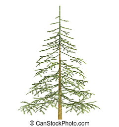 fir tree - image of fir tree