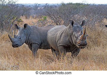 Pair of White Rhinos Grazing at Kruger National Park, South...