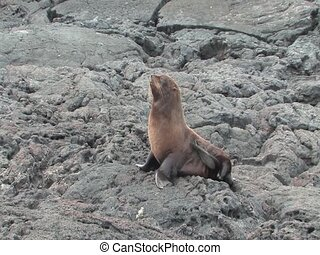 Fur sea lions are not commonly found in the Galapagos...