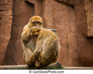 Barbary macaque grooming - A pair of barbary Macaque showing...