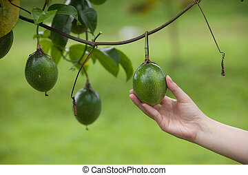 Passion fruit quality control by hand in farm - Passion...