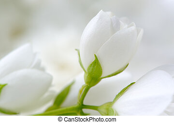 Romantic White Jasmine Flowers Close-Up - A close-up shot of...