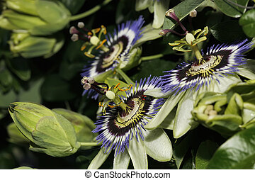 ITALY, Lazio, countryside, passion fruit flowers Passiflora...