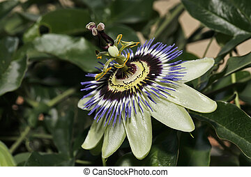 ITALY, Lazio, countryside, passion fruit flower Passiflora