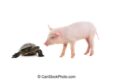 turtle and pig on a white background. studio