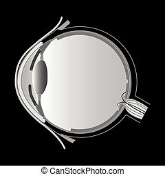 Eye anatomy, vector
