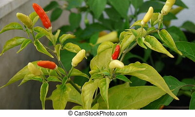 Small chili peppers close up - Small hot chili peppers close...