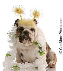 english bulldog wearing fun comical costume