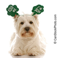 St. Patrick\'s day dog - west highland white terrier wearing...