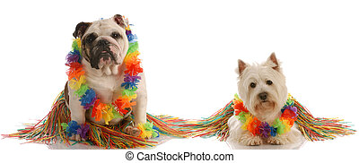 dancing dogs - english bulldog and west highland white...