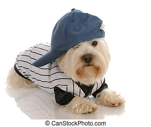 dog wearing baseball uniform - west highland white terrier...