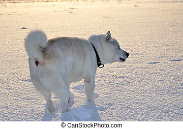 Dog Shiba Inu in snow in winter field