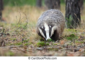 European badger, lat. Meles meles - Adult male badger in his...