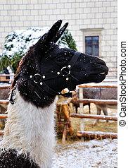 Lama - Llama Lama glama in winter