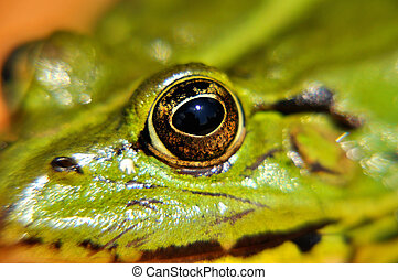 Green frog - Eye of Green frog Pelophylax esculentus