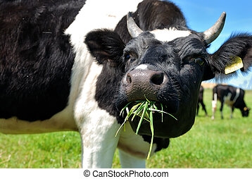 cow chewing grass - close-up view of horned cow chewing...