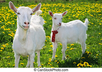 she-goat and goatling standing on summer pasture with yellow...