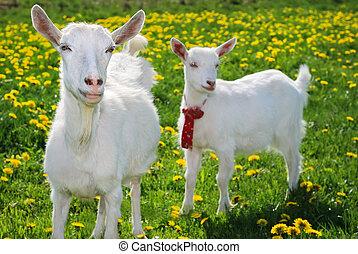 she-goat, goatling