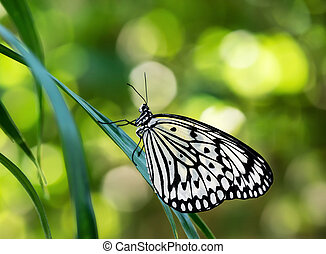 Paper Kite Butterfly - Paper Kite, Rice Paper, or Large Tree...