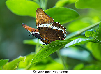Rusty-tipped Page butterfly (Siproeta epaphus) perched on a...
