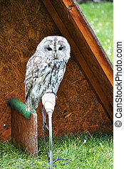 Tawny Owl - Close up of a baby Tawny Owl