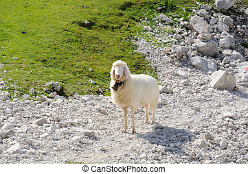 Sheep in the Alps. Wetterstein Mountains, Germany