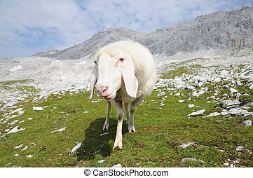 Sheep in the Wetterstein Mountains Zugspitze summit in the...