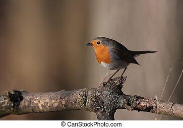 europeu, Robin