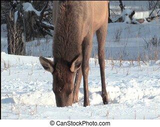 Elk pawing snow