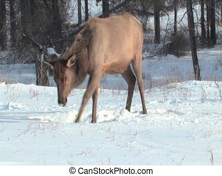 Elk pawing snow in Jasper Alberta