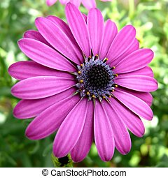 Purple african daisy (dimorfotecas) - Macro view of purple...