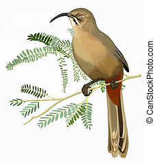 Curve-billed Thrasher (Toxostoma curvirostre) on mesquite...