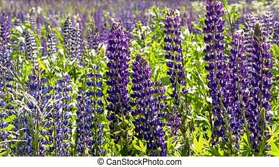 Lupine field zoom