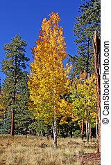 Aspen Fall Color Mogollon Rim, AZ 5