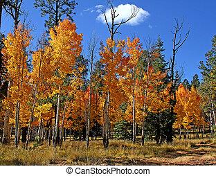 Aspen Fall Color Mogollon Rim, AZ 4