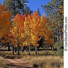 Aspen Fall Color Mogollon Rim, AZ 3