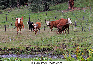 White-faced Hereford Cattle in the White Mountains, Arizona