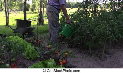 man watering tomato - Gardener watering tomatos plant with...