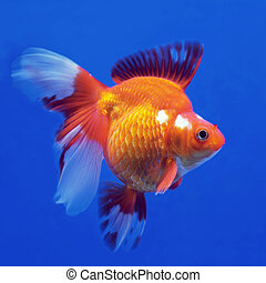 goldfish - beautiful goldfish in the aquarium